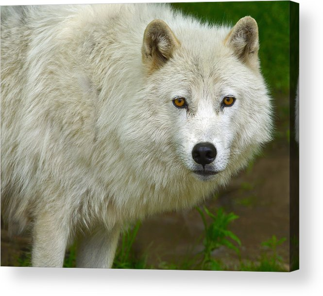 Arctic Wolf Acrylic Print featuring the photograph Arctic Wolf by Tony Beck