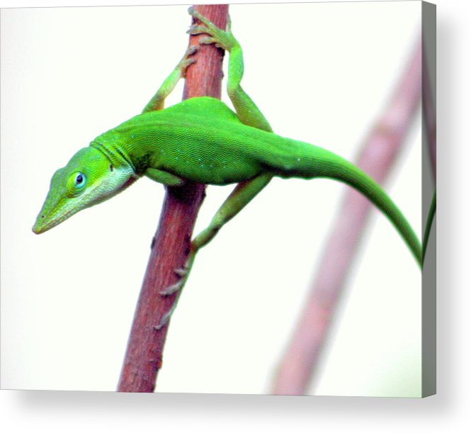 Green Chameleon Acrylic Print featuring the photograph Are You Talking To Me by LC Linda Scott