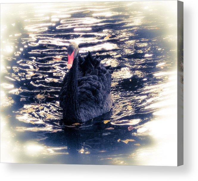 Swan Acrylic Print featuring the photograph Black Beauty II by Tracy Salava