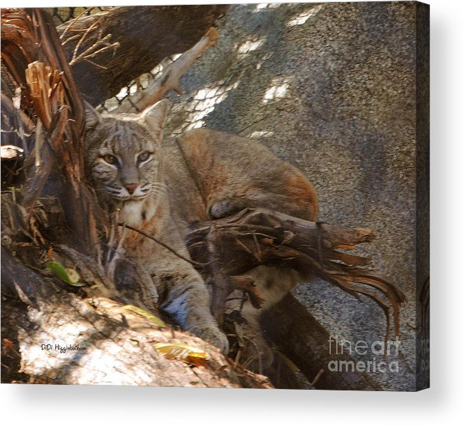 Bobcat Acrylic Print featuring the photograph Bobcat by DiDi Higginbotham
