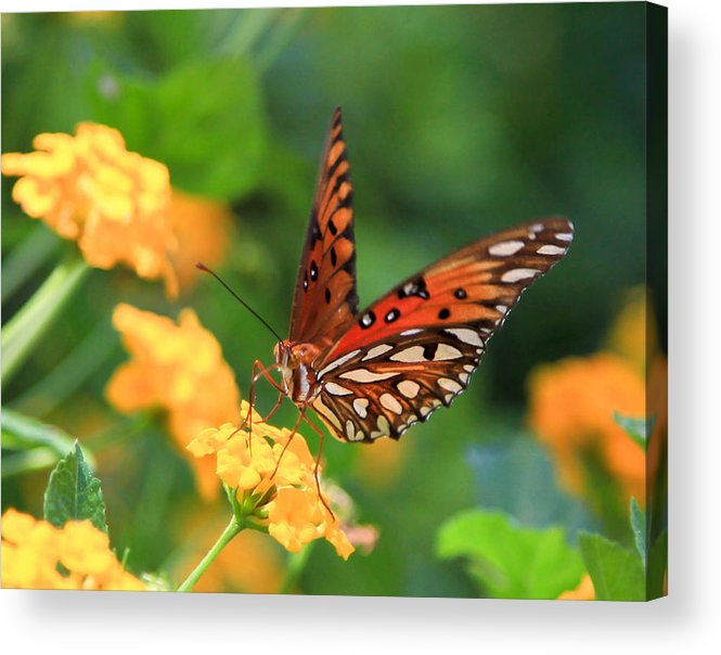 Butterfly Acrylic Print featuring the photograph Butterfly by Amy Salter