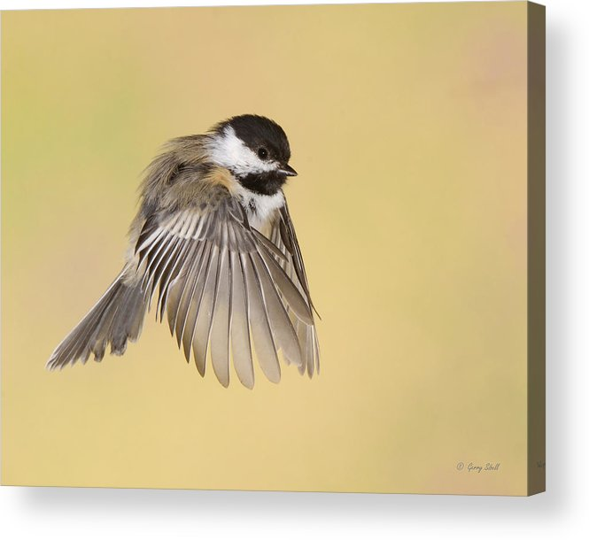 Nature Acrylic Print featuring the photograph Cappy Jr by Gerry Sibell