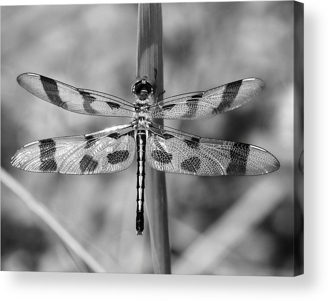 Dragonfly Acrylic Print featuring the photograph Dragonfly by Ken Wolter