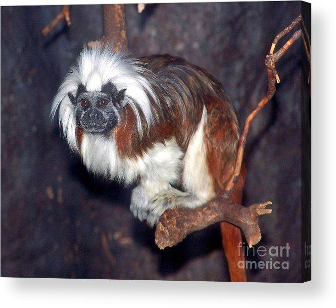 Whitehead Monkey Acrylic Print featuring the photograph Einstein by Anne Ferguson
