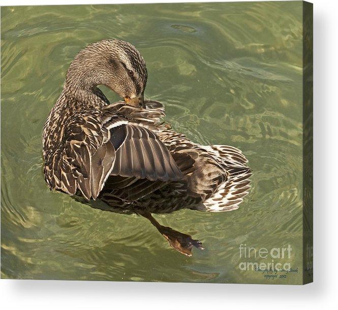 Love Birds Acrylic Print featuring the photograph Female Mallard Preening by Kenny Bosak
