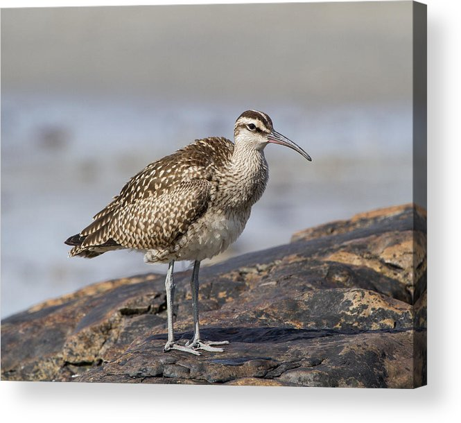 Numenius Phaeopus Acrylic Print featuring the photograph Globe Trotter by Chuck Homler