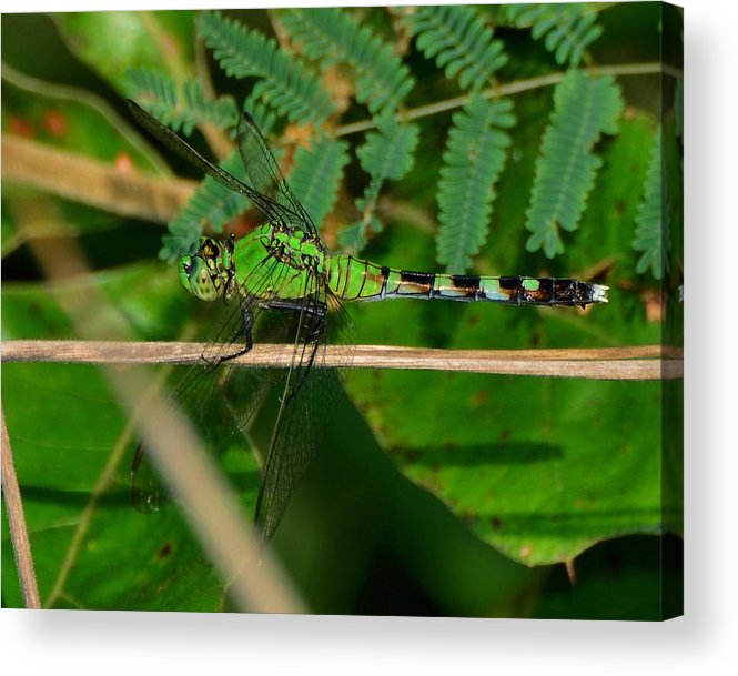 Paul Lyndon Phillips Acrylic Print featuring the photograph Green Dragonfly At Pond - 51006573f by Paul Lyndon Phillips