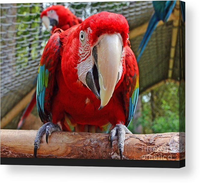 Macaw Acrylic Print featuring the photograph Hello by Jack Moskovita
