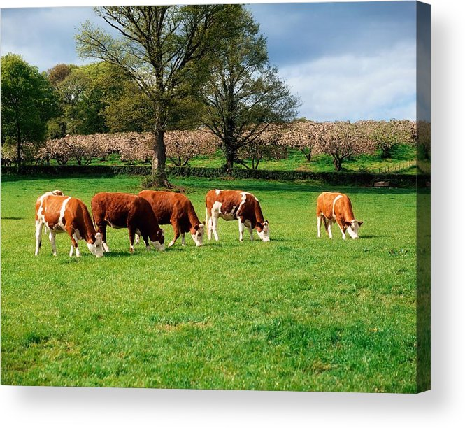 Animal Husbandry Acrylic Print featuring the photograph Hereford Bullocks by The Irish Image Collection