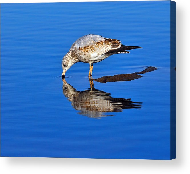 Ring-billed Gull Acrylic Print featuring the photograph Juvenile Ring-billed Gull by Tony Beck