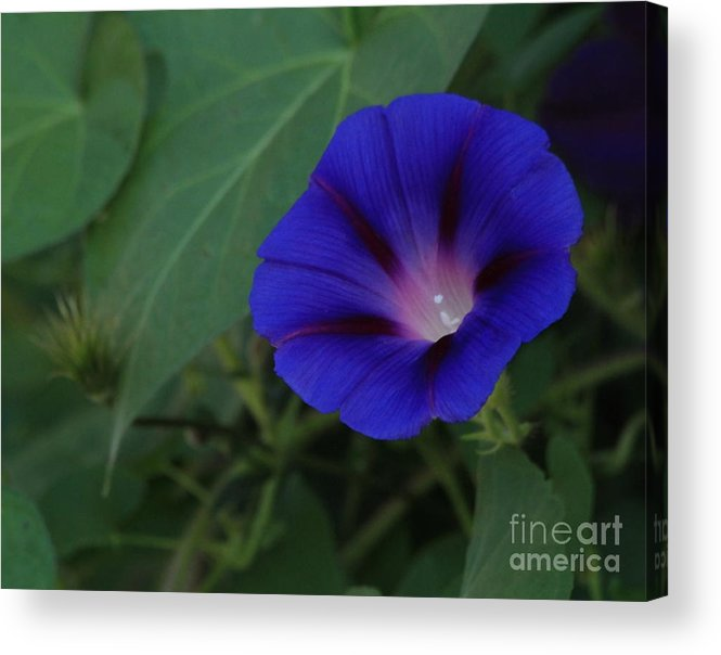 Plant Acrylic Print featuring the photograph Morning Glory 2012 by Marjorie Imbeau