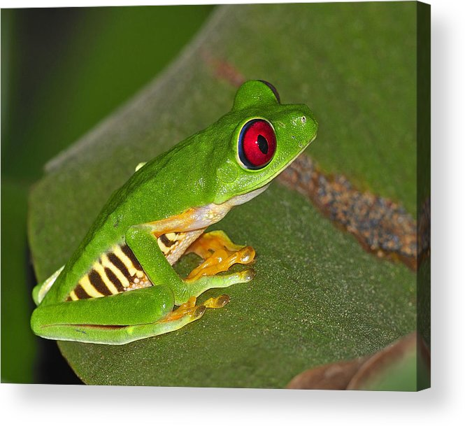 Costa Rica Acrylic Print featuring the photograph Red-eyed Leaf Frog by Tony Beck