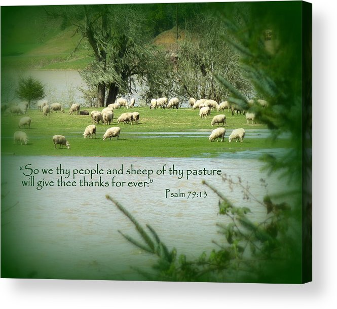 Cindy Acrylic Print featuring the photograph Sheep Grazing Scripture by Cindy Wright
