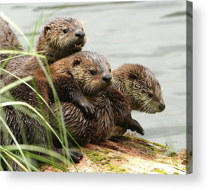 River Otter Acrylic Print featuring the photograph Sibling Smackdown by Amy Gerber