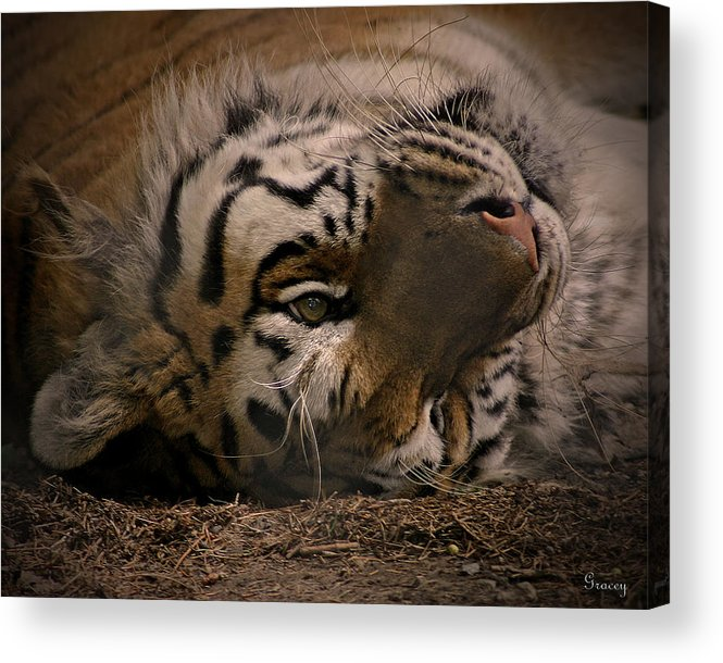 Tiger Acrylic Print featuring the photograph Tiger by Marcie Glass