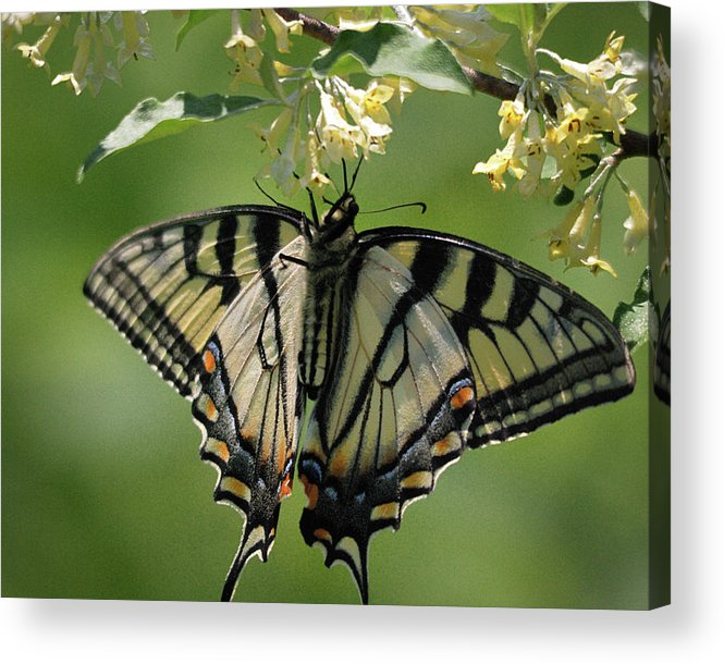 Nature Acrylic Print featuring the photograph Warpaint by Susan Capuano