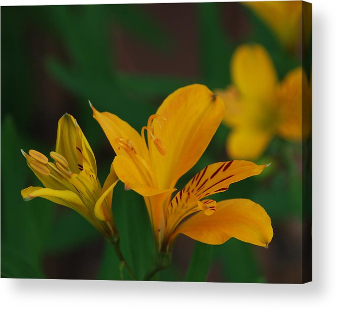 Lily Acrylic Print featuring the photograph Wild Lilies by Carol Eliassen