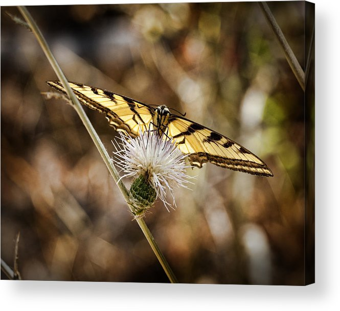 Butterfly Acrylic Print featuring the photograph Swallowtail Butterfly by Kelley King