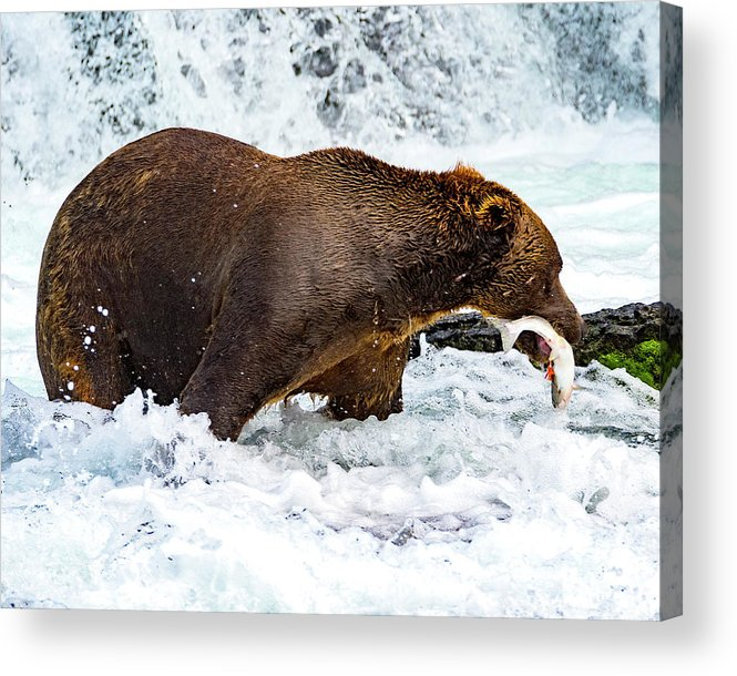 Alaska Brown Bear Acrylic Print featuring the photograph Alaska Brown Bear by Norman Hall