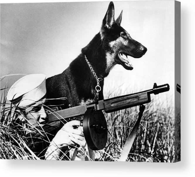 1940s Candid Acrylic Print featuring the photograph A Trained German Shepherd Sitting Watch by Everett