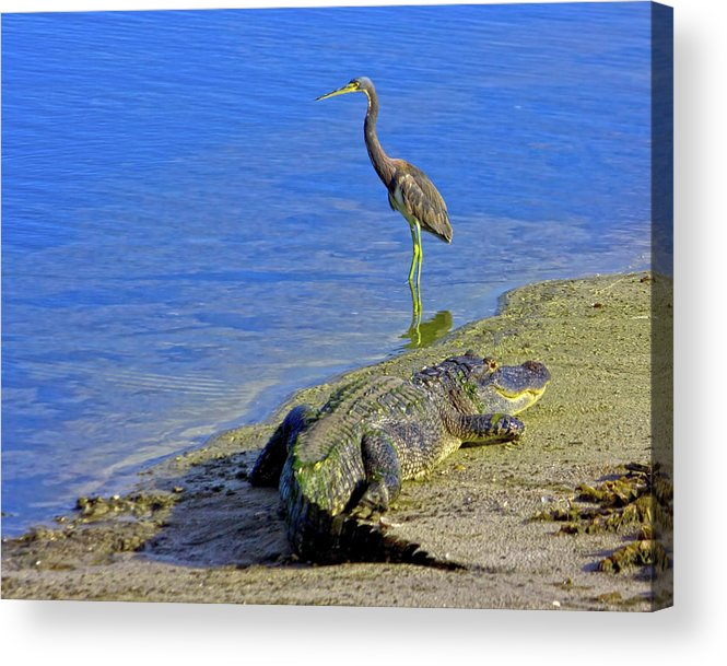 Alligator Acrylic Print featuring the photograph Alligator And Blue Heron by Mark Andrew Thomas