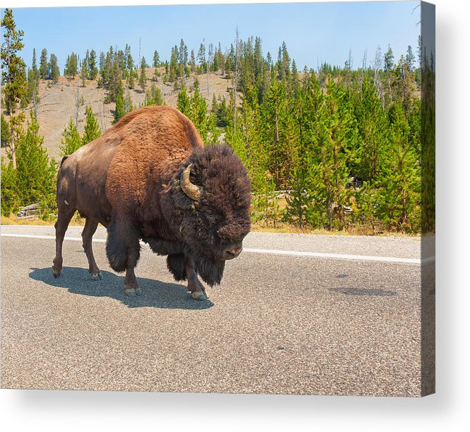 American Bison Acrylic Print featuring the photograph American Bison Sharing The Road In Yellowstone by John M Bailey