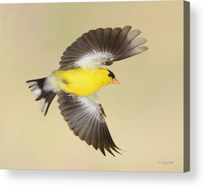 Nature Acrylic Print featuring the photograph Banking For Home by Gerry Sibell