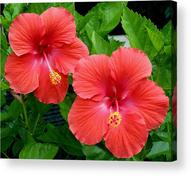 Flowers Acrylic Print featuring the photograph Beautiful Pair by Jeanette Oberholtzer