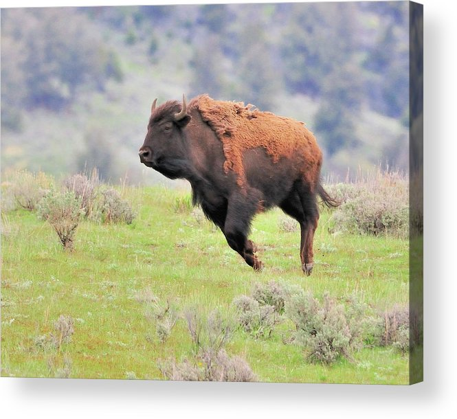 Acrylic Print featuring the photograph Bison In Flight by John R Young Jr