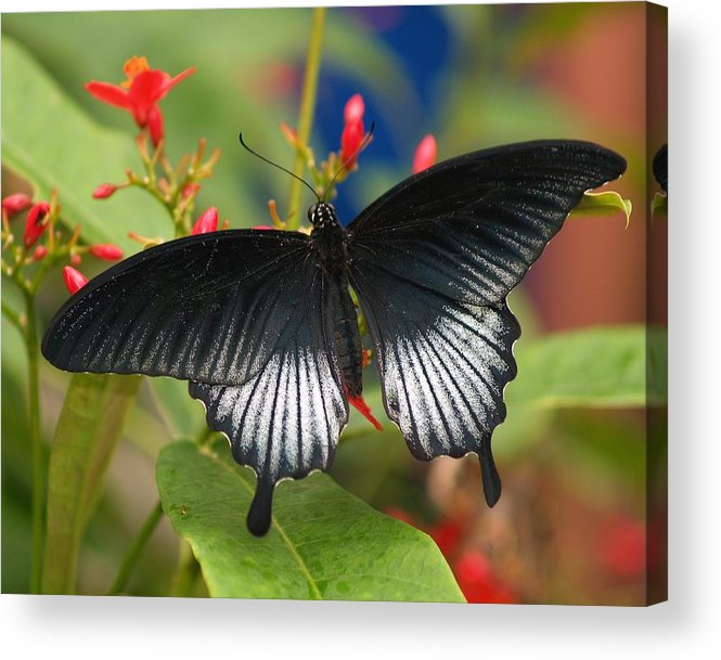 Butterfly Acrylic Print featuring the photograph Black Beauty by Gaby Swanson