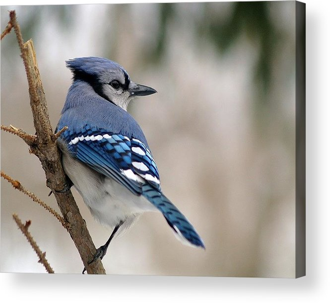 Blue Jay Acrylic Print featuring the photograph Blue Jay by Gaby Swanson