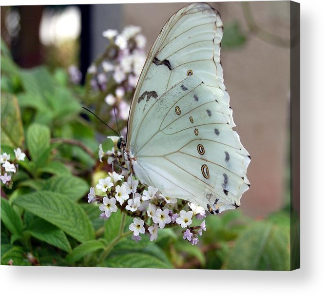 White Butterfly Acrylic Print featuring the photograph Bride by Blima Efraim