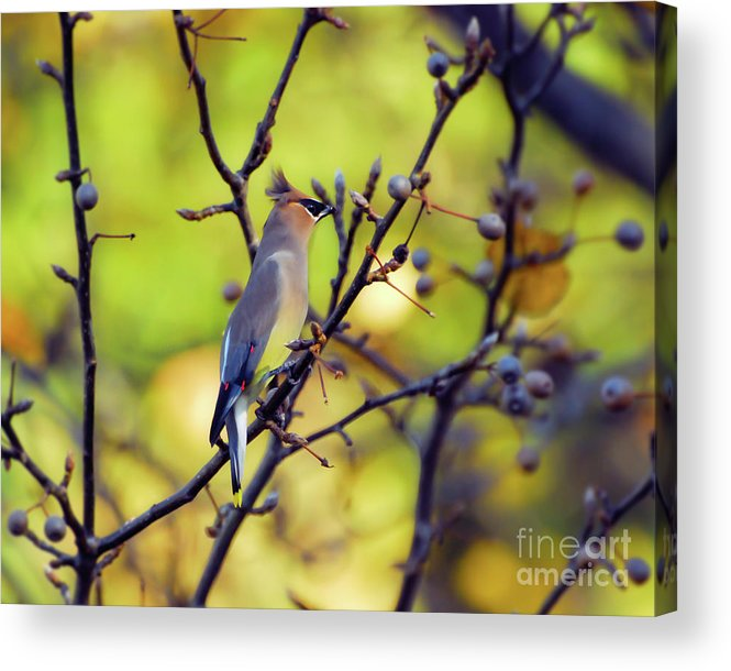 Cedar Waxwing Acrylic Print featuring the photograph Cedar Waxwing With Windblown Crest by Kerri Farley of New River Nature
