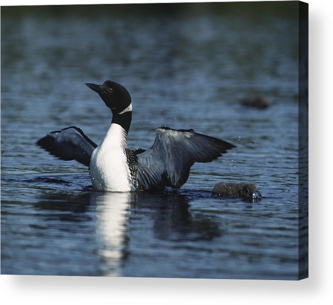Feeding Acrylic Print featuring the photograph Common Loon Flaps by Mark Wallner