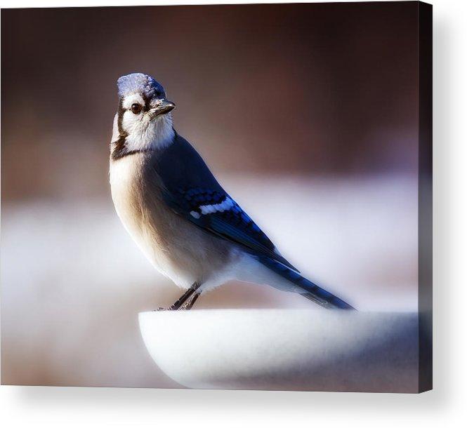 Bird Acrylic Print featuring the photograph Dreamy Blue Jay by Al Mueller