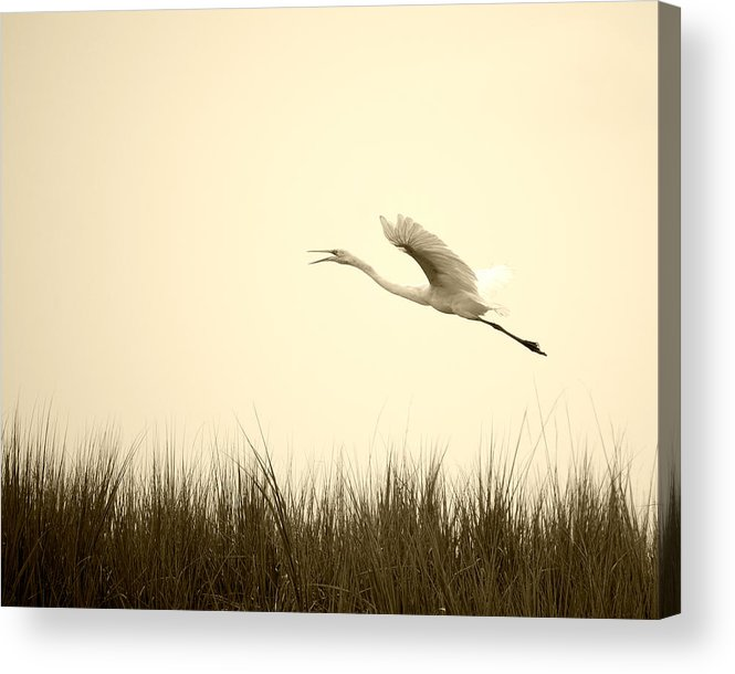 White Egret Flying Marsh Rising Bird Flight Grass Acrylic Print featuring the photograph Egret Rising by William Haney