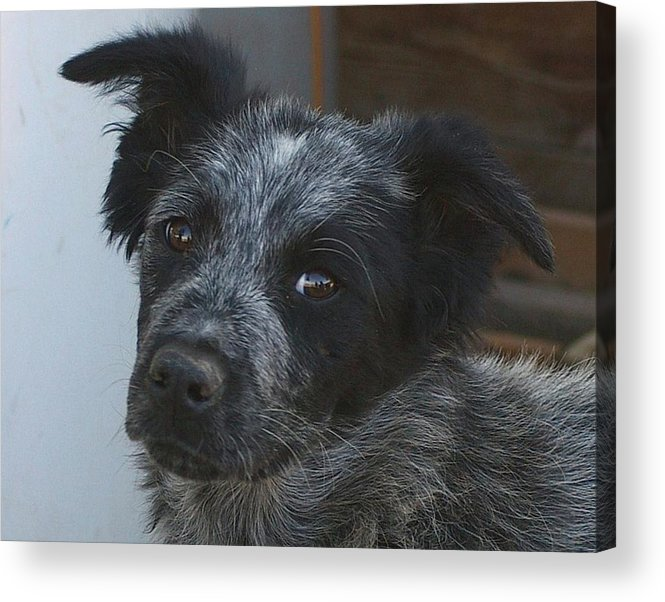 Canines Acrylic Print featuring the photograph Farm Puppy by Jeff Swan