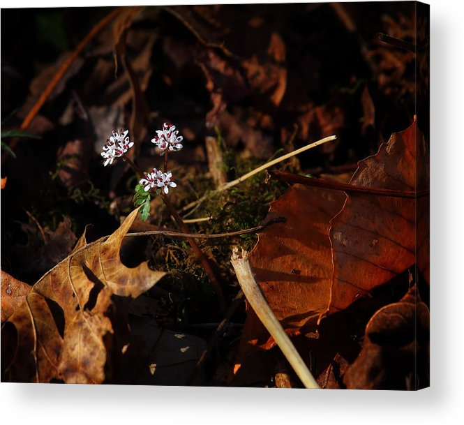 Harbinger Of Spring Acrylic Print featuring the photograph Harbinger Of Spring In Lost Valley by Michael Dougherty