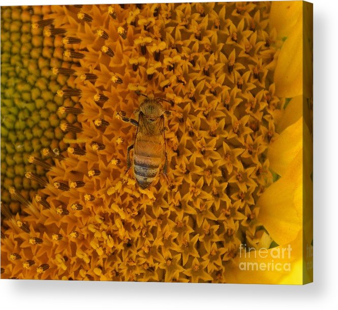 Bee Acrylic Print featuring the photograph Honey Bee On Sunflower by Meandering Photography