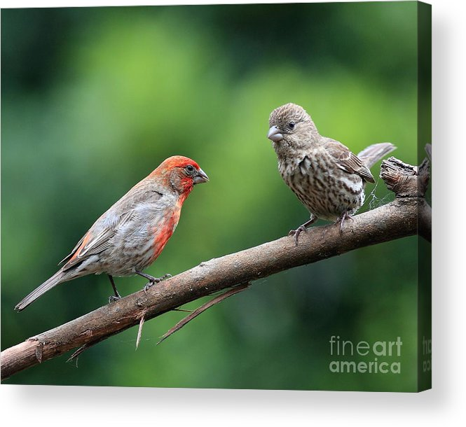 Wildlife Acrylic Print featuring the photograph House Finch Courtship by Wingsdomain Art and Photography