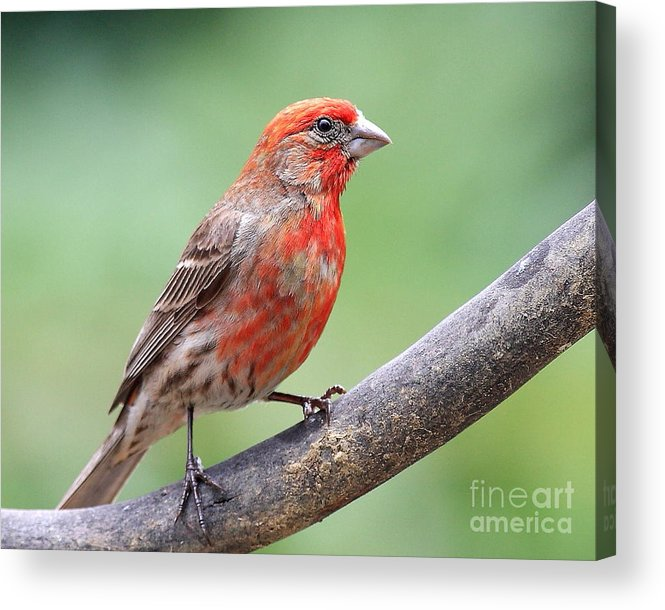 Wildlife Acrylic Print featuring the photograph House Finch by Wingsdomain Art and Photography