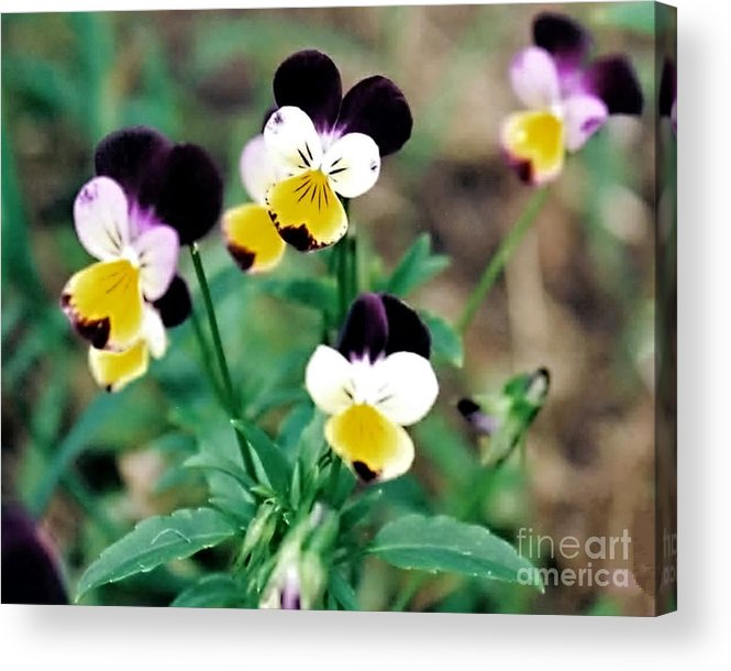 Flowers Acrylic Print featuring the photograph Johnny Jump-ups by Emily Kelley