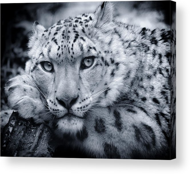 Snow Leopard Acrylic Print featuring the photograph Large Snow Leopard Portrait by Chris Boulton