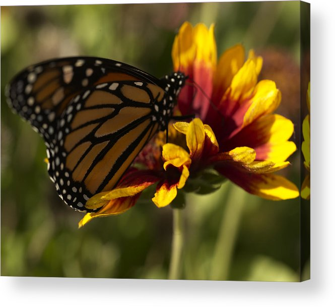Butterfly Acrylic Print featuring the photograph Monarch Butterfly by Jessica Wakefield