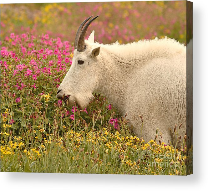 Mountain Goat Acrylic Print featuring the photograph Mountain Goat In Colorful Field Of Flowers by Max Allen