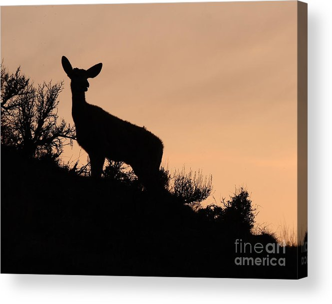 Deer Acrylic Print featuring the photograph Mule Deer Silhouetted Against Sunset Ridge by Max Allen