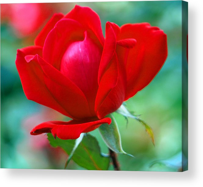 Rose Acrylic Print featuring the painting October Red by Kim