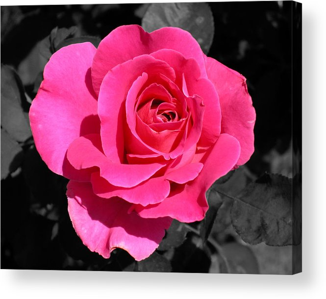Pink Acrylic Print featuring the photograph Perfect Pink Rose by Michael Bessler