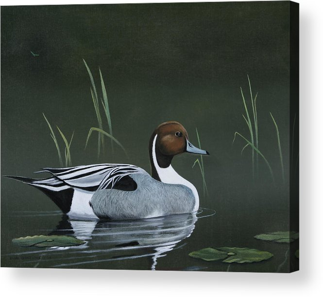 Duck Acrylic Print featuring the painting Pintail Portrait by Don Griffiths