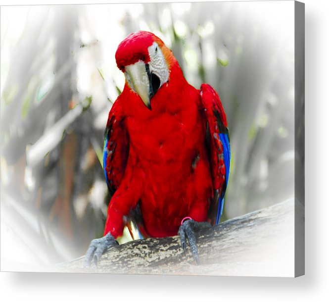 Brevard Zoo Acrylic Print featuring the photograph Red Parrot by Roger Wedegis